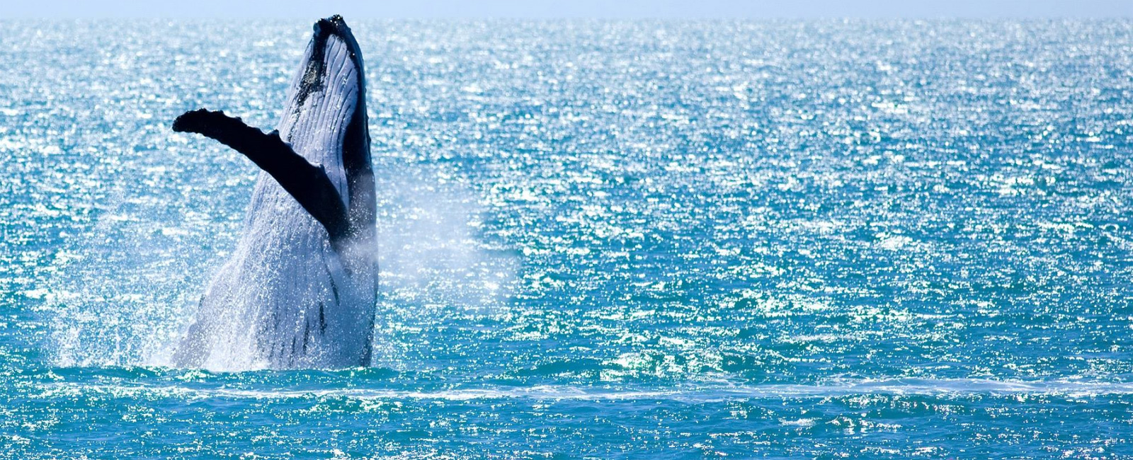 HILLARYS-WHALE-WATCHING-TOURS-whale-breach