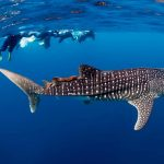 SWIM-WITH-THE-WHALE-SHARKS-EXMOUTH-CORAL-BAY