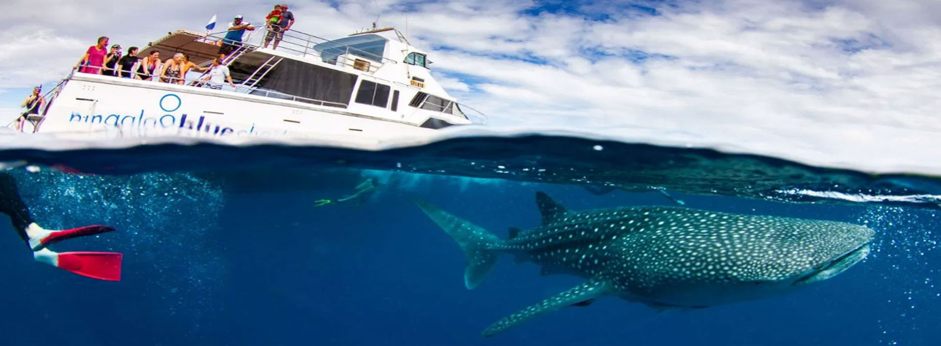 VENTURE-IV-whale-shark-swims-Ningaloo-boat-in-water tour