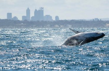 PERTH HUMPBACK WHALE WATCHING TOURS 2020