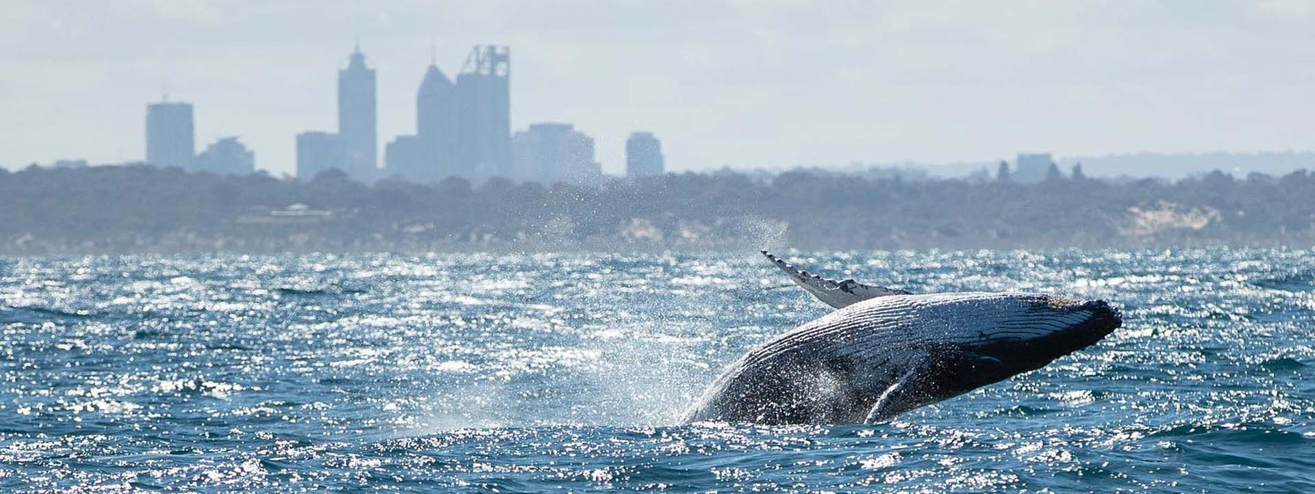WHALE BREACHING Perth WA city silhouette