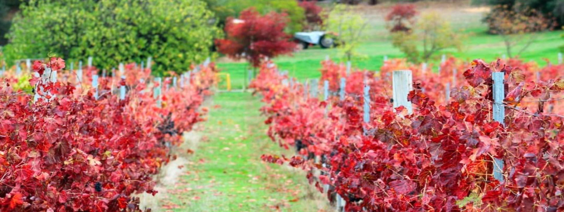 Swan Valley vines autumn colours
